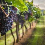 vignoble vignes grappes de raisins